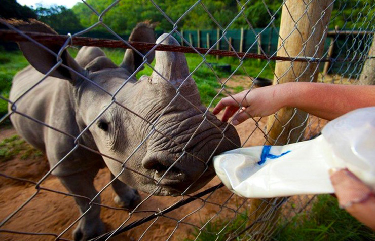 Volunteers will work with adorable rhinos. [Image courtesy of African Conservation Experience]